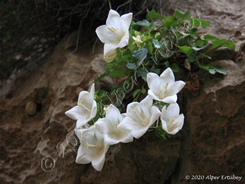 Campanula coruhensis