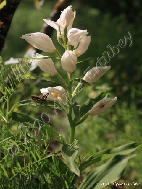 Cephalanthera kotschyana