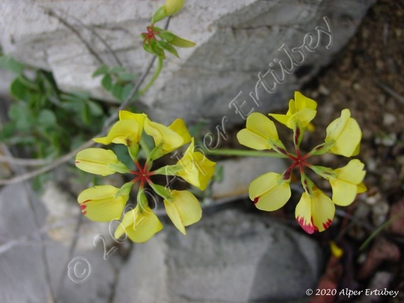 Coronilla sp.