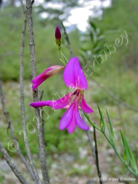 Gladiolus anatolicus