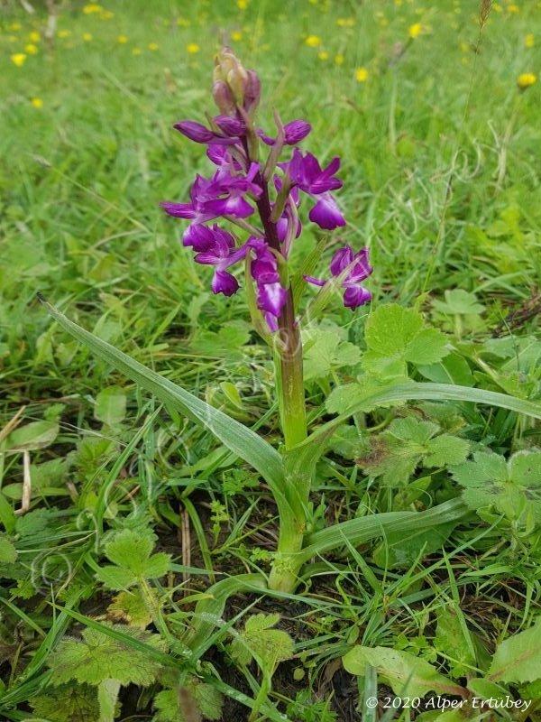 Orchidaceae sp.