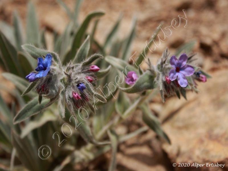 Boraginaceae sp.