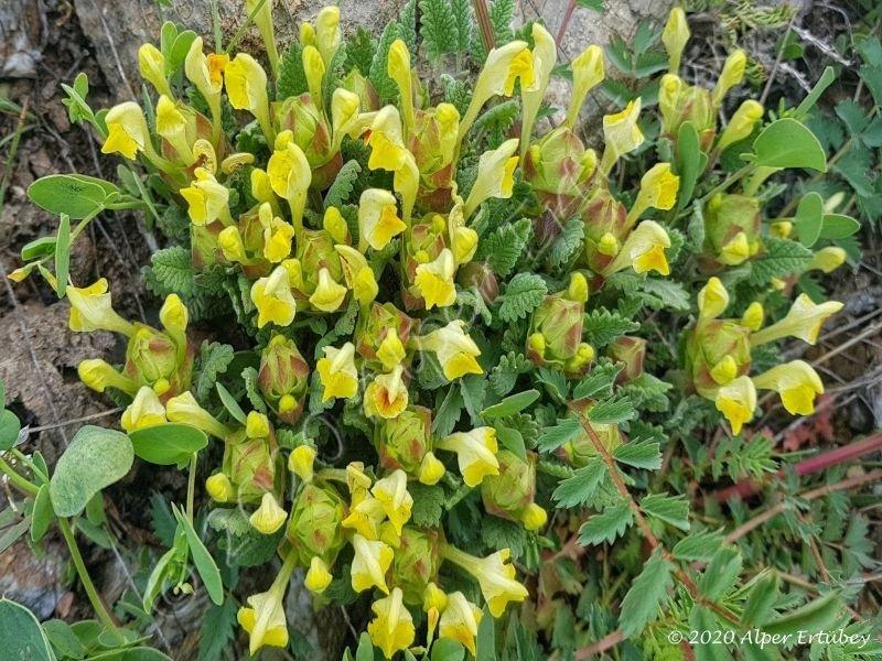 Scutellaria sp.
