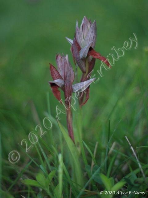 Serapias vomeracea ssp orientalis