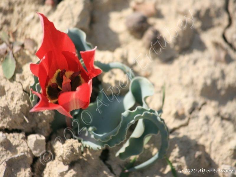 Tulipa armena subsp lycica