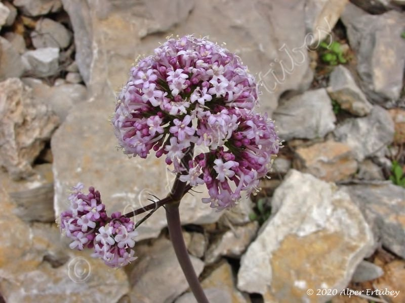 Valeriana dioscoridis