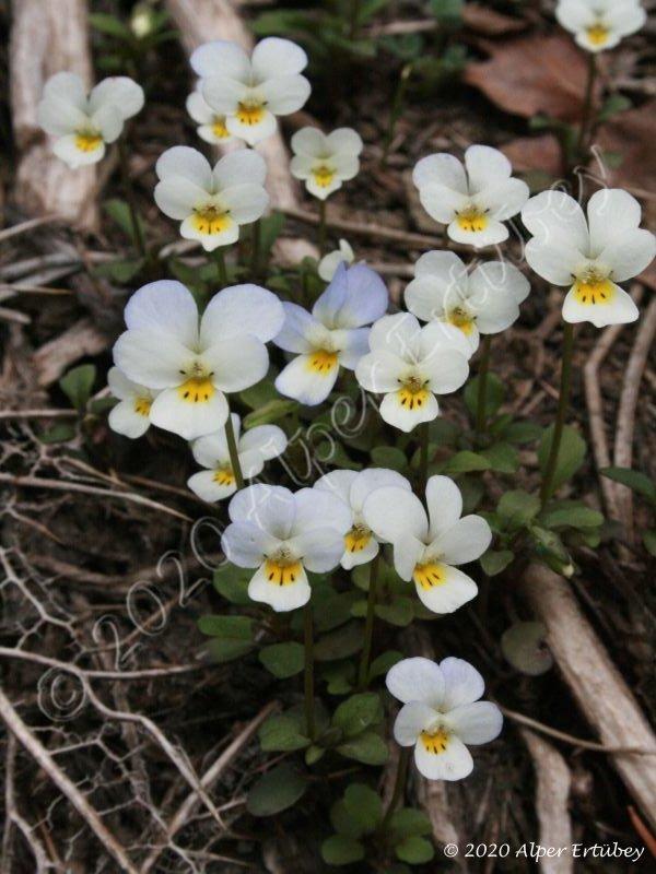 Viola modesta